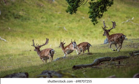 Four Fallow Deer bucks on the downhill run