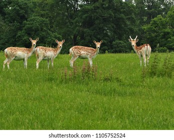 Four fallow deer in a green field looking towards the camera