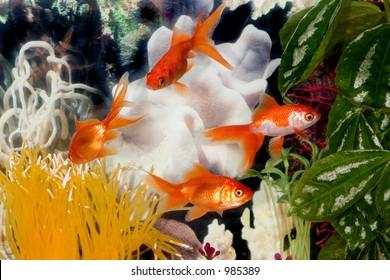 Four Fantail Goldfish