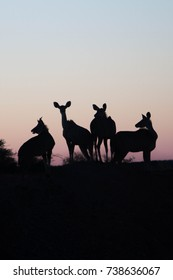 Four female antelope silhouettes in front of a sunset in dim colors