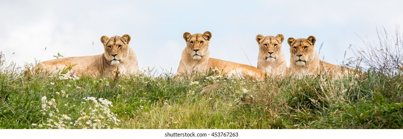 Four female lions resting in the fresh grasss