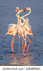 Four Flamingo  (Phoenicopterus roseus) birds socialising and foraging in shallow water of Camarque Nature reserve, Cote D'Azur, Southern France