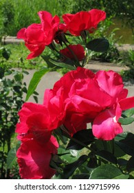 Four flowers of a red rose with juicy green leaves
