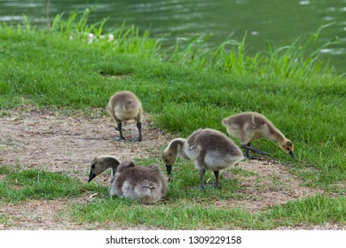 Four fluffy Canadian geese chicks hanging out in the green grass embankment next to a pond in spring.