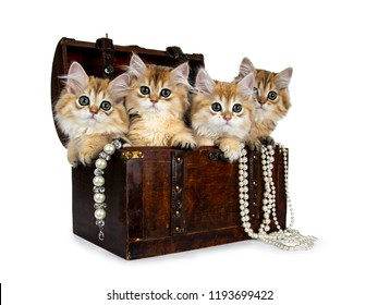 Four fluffy golden British Longhair cat kittens sitting in dark brown jewelery box with pearls hanging over edge, looking at lens with big green eyes isolated on white background