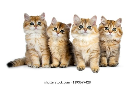 Four fluffy golden British Longhair cat kittens sitting / laying in perfect row, looking at lens with big green eyes isolated on white background