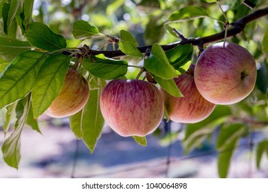 Four fresh natural organic ripe Red Heirloom Delicious organic apples on branches in an apple tree, healthy vegetarian snack, diet friendly, sweet fruit with nutrition and vitamins