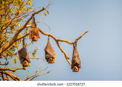 Four fruit bats also called flying foxes hanging upside down from the branch of a tree in Sydney, Australia. The sky is blue and the sunshine is accentuating their reddish brown fur