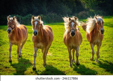 Four Galloping Haflinger horses  in meadow in Flanders