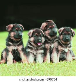 Four German Shepherd puppies posing