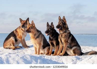 four German Shepherds sitting on the snow