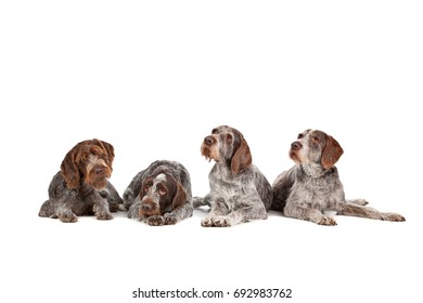 four German Wirehaired Pointer dogs in front of a white background