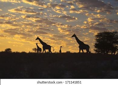 Four Giraffes (Giraffa camelopardalis) silhouetted against a sunrise cloudscape sky in the Kalahari desert, Kgalagadi transfrontier park, South Africa.