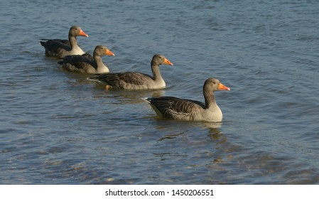 four gray geese in the river