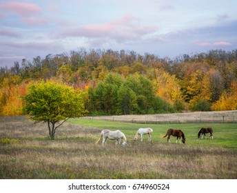 Four grazing horses in the evening on a quiet midwestern farm in autumn near Traverse City, Michigan, USA