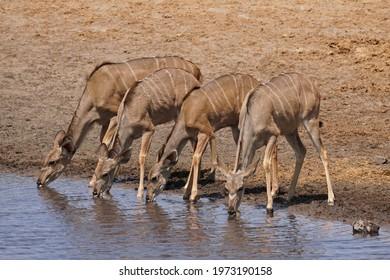 Four Greater Kudu drinking at waterhole in Etosha National Park, Namibia