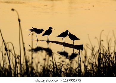 Four greater yellowlegs shorebirds (Tringa melanoleuca) in silhouette at sunset in early autumn at Fir Island Farms Reserve, Skagit County, Washington. The birds are standing on a piece of driftwood.