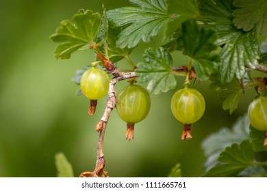 Four green gooseberries growing on the bush