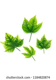 Four Green leaf isolated on white background