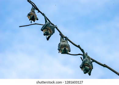 Four Grey headed flying foxes hanging in a tree