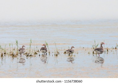 four greylag geese standing in the Neusiedler Lake in Burgenland