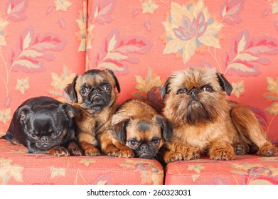 Four griffons sitting on the sofa