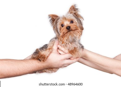 Four hands holding an Yorkshire Terrier