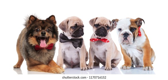 four happy stylish dogs of different breeds sitting and lying on white background