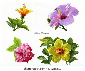 Four hibiscus flowers. watercolor images of pink, red, yellow orange and yellow tropical flowers in a poster or clip art format with white background and script