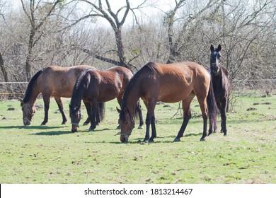 Four horses graze in the pasture