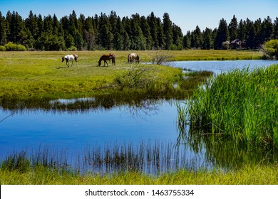 four horses and a pine forest reflected in a small lake on Black Butte Ranch, central Oregon