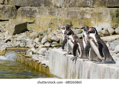 Four humboldt penguins wait to dive into the water