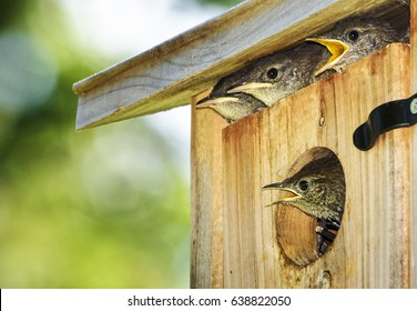 Four hungry baby birds poke heads out of birdhouse when they sight parent with food