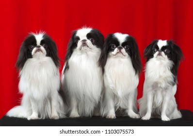 Four Japanese Chin dogs,  portrait sits on isolated red background, Looking at the camera.