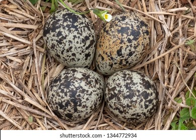 Four killdeer eggs lay in a ground nest just before sping begins in Raleigh North Carolina.