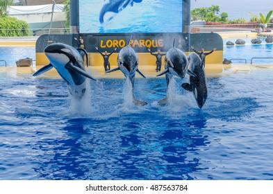 Four Killer whales, (grampus, orca)  in the jump. Show in the Loro Parque on August 13, 2013 Puerto de la Cruz, Tenerife, Spain.