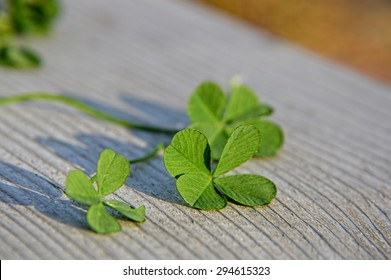 four leaf clover, close up