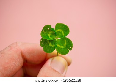 Four leaf clover, happiness, clover, pink background
