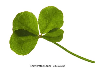 Four Leaf Clover isolated on the white background