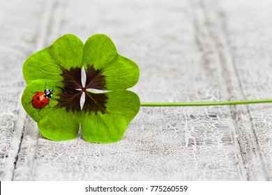 four leaf clover with ladybug on wood, copy space