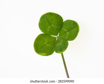 Four leaf clover on the white background