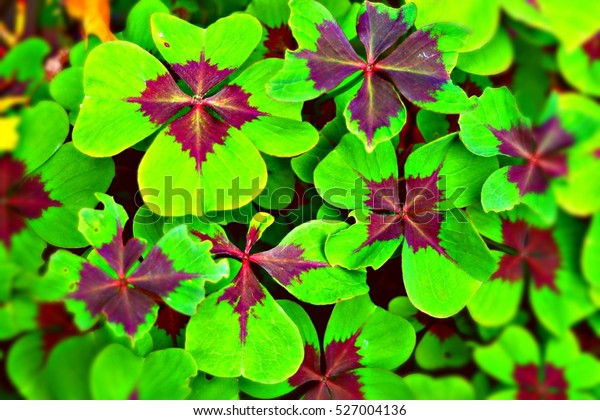 Four Leaf Clover Plant Dark Red Stock Photo Edit Now 527004136