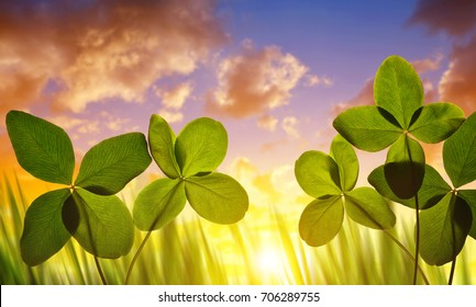 Four leaf clovers close up at sunset.