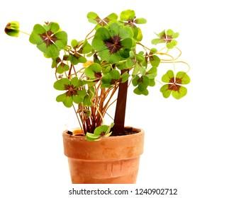 Four leafed cloverleaf