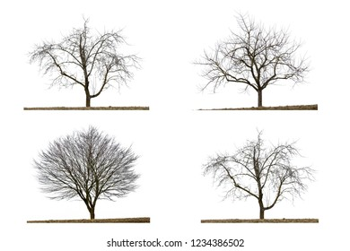 Four leafless trees in winter, isolated on white background
