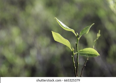 Four leaves in a coca plant sprouting in a planatation in Bolivia