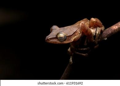 Four Line Tree frog (Polypedates leucomystax)