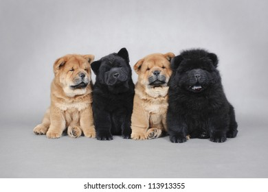 Four little Chow chow  puppies portrait at grey background