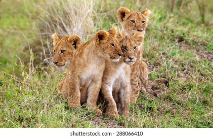 four little lion cubs