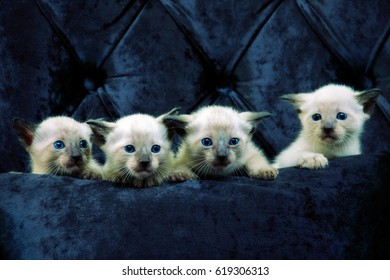 Four little siamese kitten standing on a blue seat.